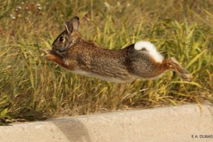 rabbit_curb
